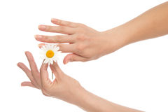 Woman hands french manicure with camomile daisy flower Stock Photography