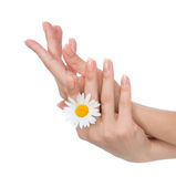 Woman hands french manicure with camomile flower stock image