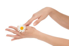Woman hands french manicure with chamomile daisy flower Royalty Free Stock Images