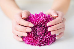 Woman hands with french manicure holding daisy stock photography