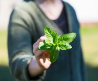Woman hands with fresh just picked oregano twig Royalty Free Stock Photography