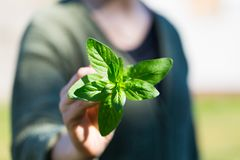 Woman hands with fresh just picked oregano twig Stock Photo