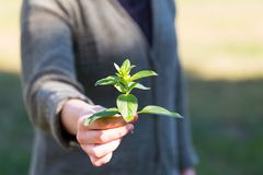 Woman hands with fresh just picked oregano twig Stock Images