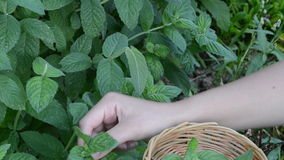 Woman hands gather pick mint leaf. alternative medicine herbs stock video footage