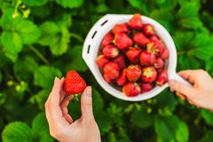 Woman hands  gathering strawberry Stock Images