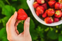 Woman hands  gathering strawberry Stock Photo