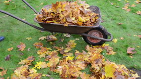 Woman hands gloves load barrow cart autumn leaves garden carry stock video footage