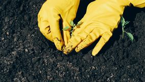 Woman hands in gloves planted in the ground fresh seedlings of plants. Woman farmer hands in gloves planted in the ground fresh seedlings of plants stock video footage