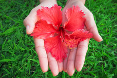 Woman hands on green grass and red flower in hand. Woman hands on green grass and red flower in hand at garden in morning day Royalty Free Stock Photos