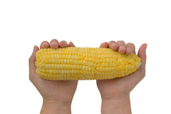Woman hands hold corn isolated on white Royalty Free Stock Photography