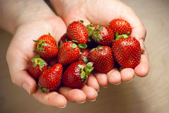 Woman hands hold red ripe strawberries Royalty Free Stock Photography