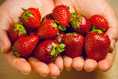 Woman hands hold red ripe strawberries Royalty Free Stock Photo