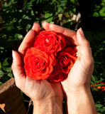 The woman hands holding beautiful roses Stock Photo