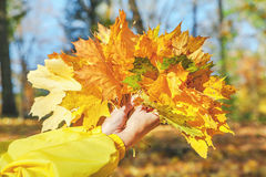 Woman hands are holding bunch of maple leaves Stock Images