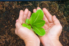 Woman hands holding and caring a green young tree with brown soil background. Stock Photo