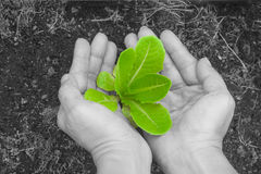 Woman hands holding and caring a green young tree with brown soil. Woman hands holding and caring a green young tree with brown soil on black and white Stock Images