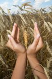 Woman hands holding corns Royalty Free Stock Image