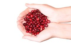 Woman hands holding cranberry Royalty Free Stock Photography