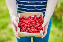 Woman hands holding a crate with fresh ripe raspberries on farm Stock Photos