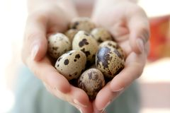 Woman hands holding fragile quail eggs. Newborn care metaphor Stock Image