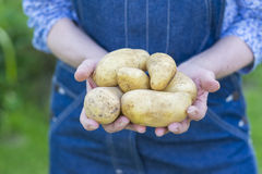 Woman hands holding fresh vegetable, potato Royalty Free Stock Photography