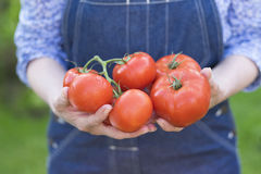 Woman hands holding fresh vegetable,tomato Royalty Free Stock Photos
