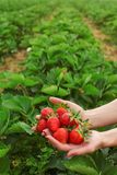 Woman hands holding freshly picked strawberries in both hands, self picking strawberry farm in background, space for text in upper royalty free stock image