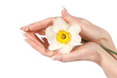 Woman hands holding narcissus Stock Photos