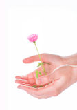 Woman hands holding a pink rose on white Royalty Free Stock Photography