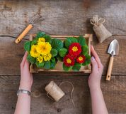 Woman hands holding Primrose Primula Vulgaris potted garden flowers, tools, spring gardening postcard concept