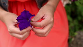 Woman hands holding purple flower red bloom hidden in arms. Static closeup shot.  stock video