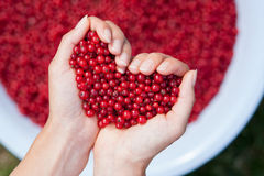 Woman hands, holding red currants in the shape of heart Stock Images