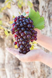 Woman hands holding red grapes Stock Image