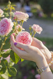 Woman hands holding a tender pink rose Royalty Free Stock Image