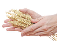 Woman hands holding wheat Royalty Free Stock Images