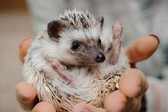 Woman hands holding white african hedgehog Royalty Free Stock Image