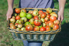 Woman hands holding wicker basket with organic apples Royalty Free Stock Image