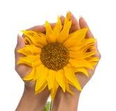 Woman hands holding yellow sunflower sun Stock Photo