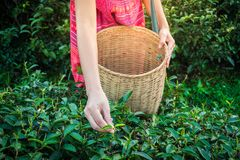 Woman hands holding young green tea leaves on hill in the morning with sunrise ray stock photos