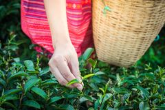 Woman hands holding young green tea leaves on hill in the morning with sunrise ray royalty free stock image