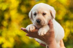 Woman hands holding a labrador puppy dog against yellow autumn foliage background royalty free stock image
