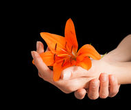 Woman hands and lily flower Royalty Free Stock Image