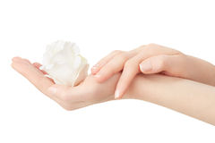 Woman hands with manicure holding white rose Royalty Free Stock Photography