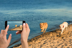 Woman hands with mobile cell phone to take a photo of as two labrador run along the river bank. Mobile Photo royalty free stock photography