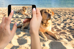 Woman hands with mobile cell phone to take a photo of labrador dog lying on the beach
