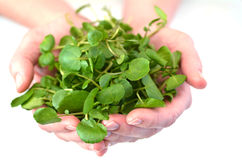 Woman hands offering Watercress. Food background texture and concept. Superfoods royalty free stock photos