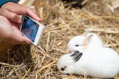 Woman hands photograph the Netherland Dwarf rabbit. stock photo