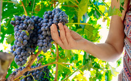Woman hands picking grape during wine harvest Royalty Free Stock Images