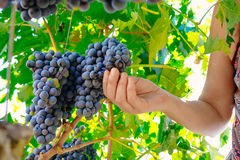 Woman hands picking grape during wine harvest Royalty Free Stock Image