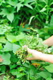 Woman hands picking herb at garden Royalty Free Stock Image